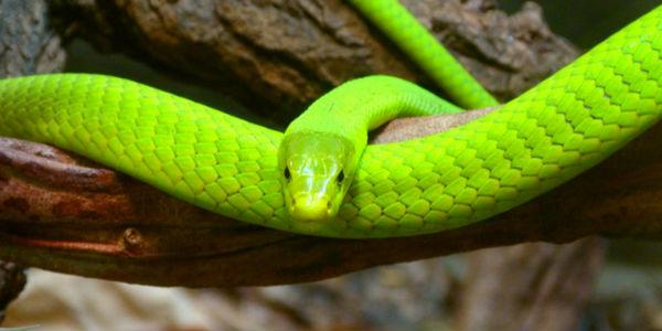 O que significa quando sonhar com cobras?