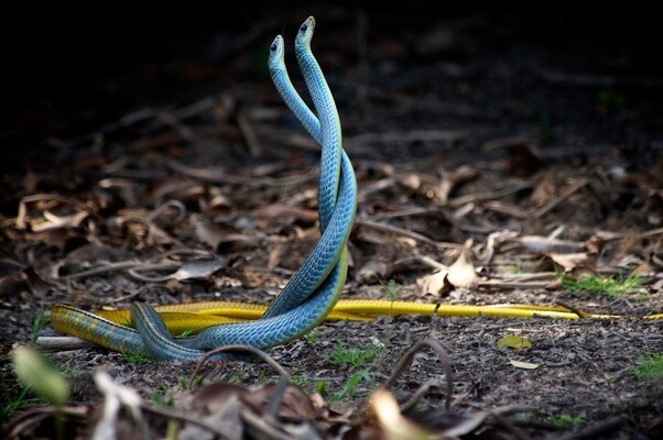 O que significa sonhar com cobras? Veja aqui